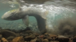 Tule Chinook Salmon Digging a Redd (video still)
